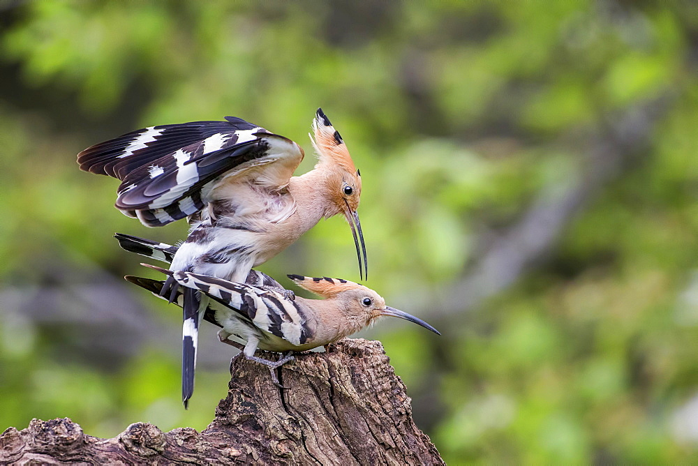 Hoopoe (Upupa epops) pair mating, Tuscany, Italy, Europe