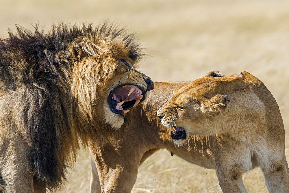 Lions (Panthera leo), foreplay during mating, Masai Mara, Narok County, Kenya, Africa