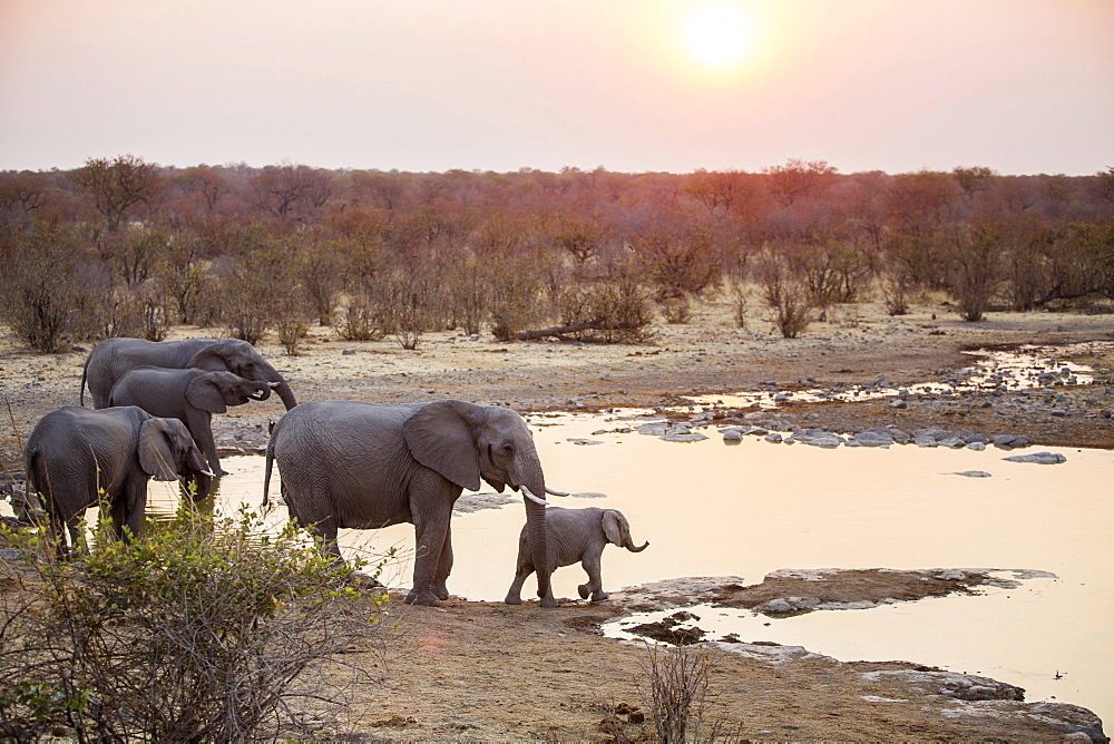 African elephants (Loxodonta africana) at a waterhole at sunset, Etosha National Park, Namibia, Africa