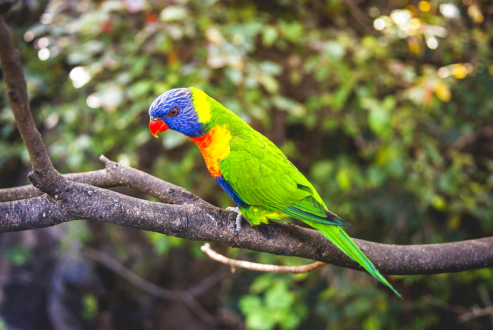 Swainson's Lorikeet (Trichoglossus haematodus moluccanus) sits on branch, also Allfarblori, Wedge-tailed Lory, Blue-cheeked Lory, Broad-banded Lory, Rainbow-Lori, captive, occurrence Australia