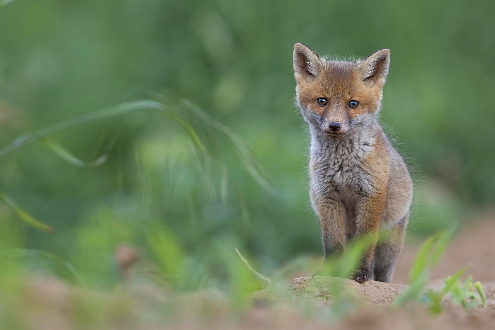 Red fox (Vulpes vulpes) cub by its burrow, Rhine-Main region, Hesse, Germany, Europe