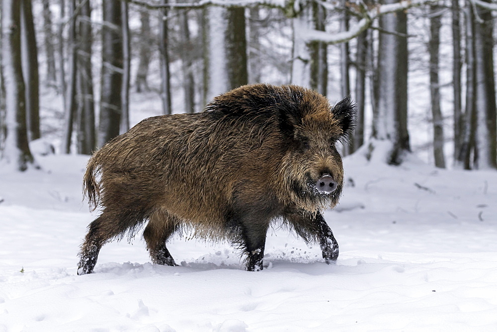 Wild boar (Sus scrofa) runs in the snow, Vulkaneifel, Rhineland-Palatinate, Germany, Europe
