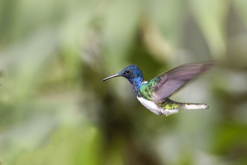 White-necked jacobin (Florisuga mellivora) in flight, Nanegal Mountain Rainforest, Ecuador, South America