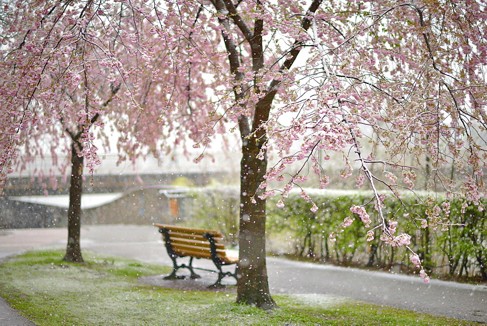Blossoming Cherry tree (Prunus x subhirtella) during snowfall, Innsbruck, Tyrol, Austria, Europe