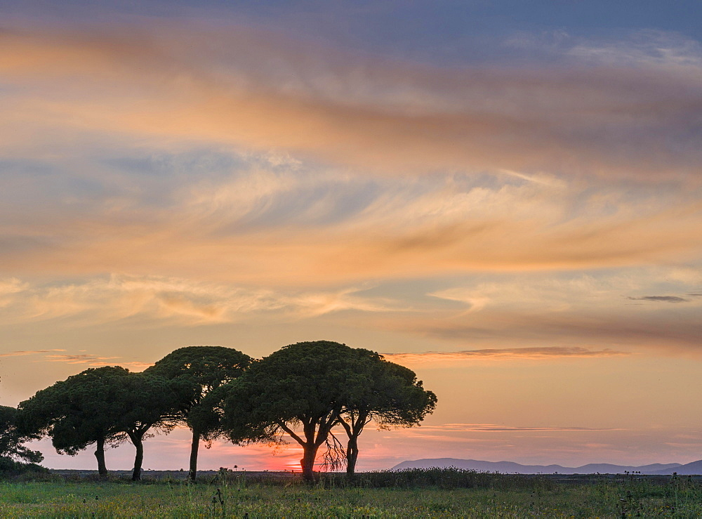 Green pine trees at sunset, Albarese, Tuscany, Italy, Europe