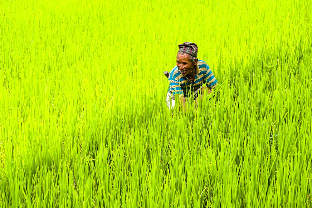 Man is working in green terrace rice fields, Upper Marsyangdi valley, Bahundanda, Lamjung District, Nepal, Asia - 832-379955