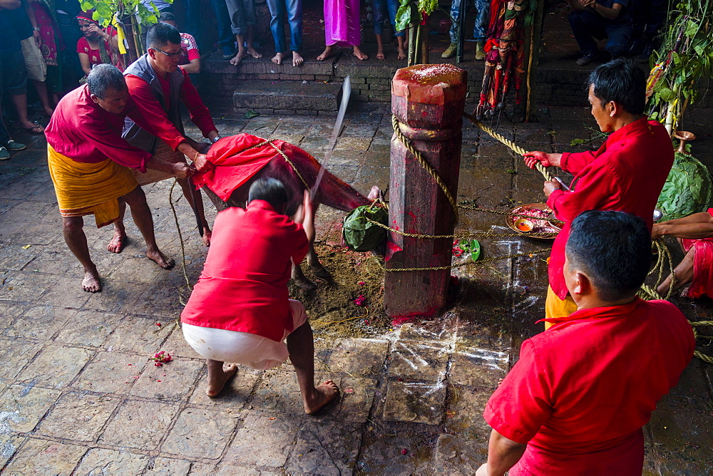 Priest with big sword sacrificing water buffalo, Hindu festival Dashain, Gorakhnath temple, Gorkha, Gorkha District, Nepal, Asia