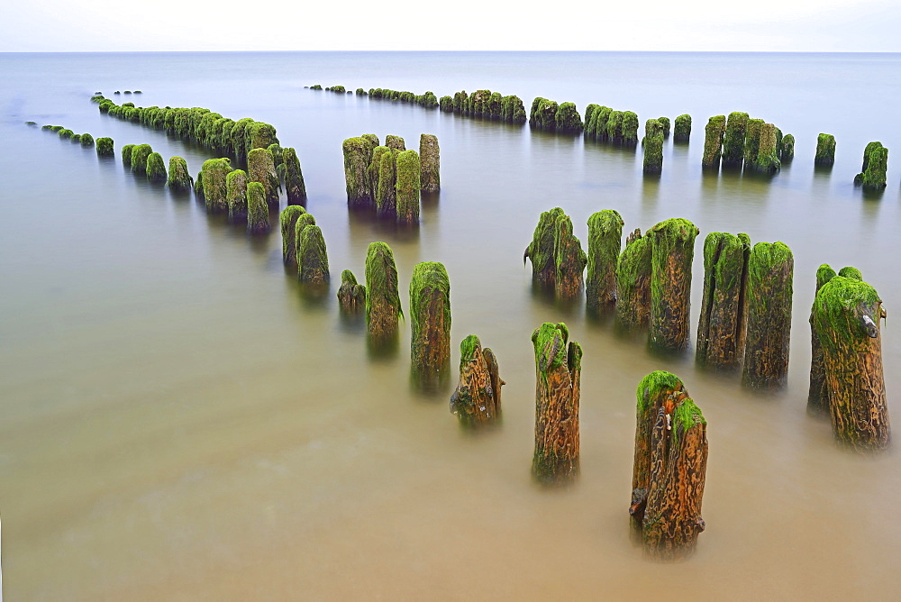 Groynes covered in algae, Rantum Beach, Sylt, North Frisian Islands, North Frisia, Schleswig-Holstein, Germany, Europe