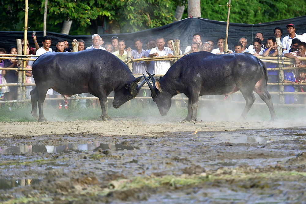 Two water buffalos (Bubalus arnee) at bullfight, Lamai, Koh Samui, Thailand, Asia