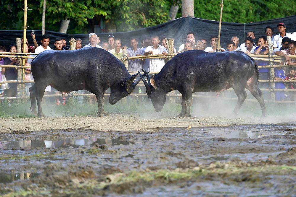 Two water buffalos (Bubalus arnee) at bullfight, Lamai, Koh Samui, Thailand, Asia