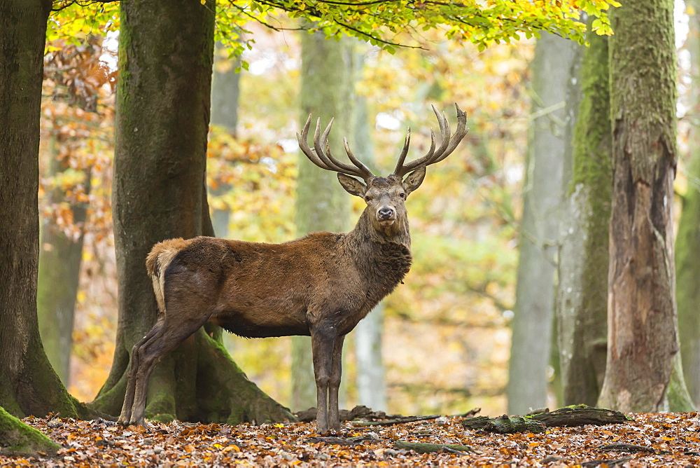 Red deer (Cervus elaphus) in autumn woods, Vulkaneifel, Rhineland-Palatinate, Germany, Europe