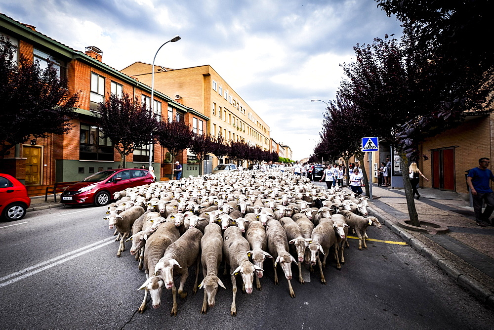 Large flock of sheep transits through the streets of the city of Soria during the transhumance, Castilla y Leon, Spain, Europe