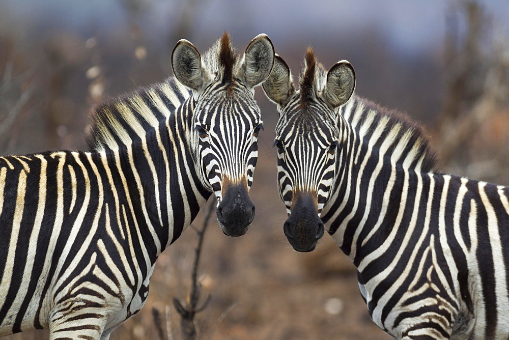 Two Burchell's Zebras (Equus quagga burchelli), Kruger National Park, South Africa, Africa