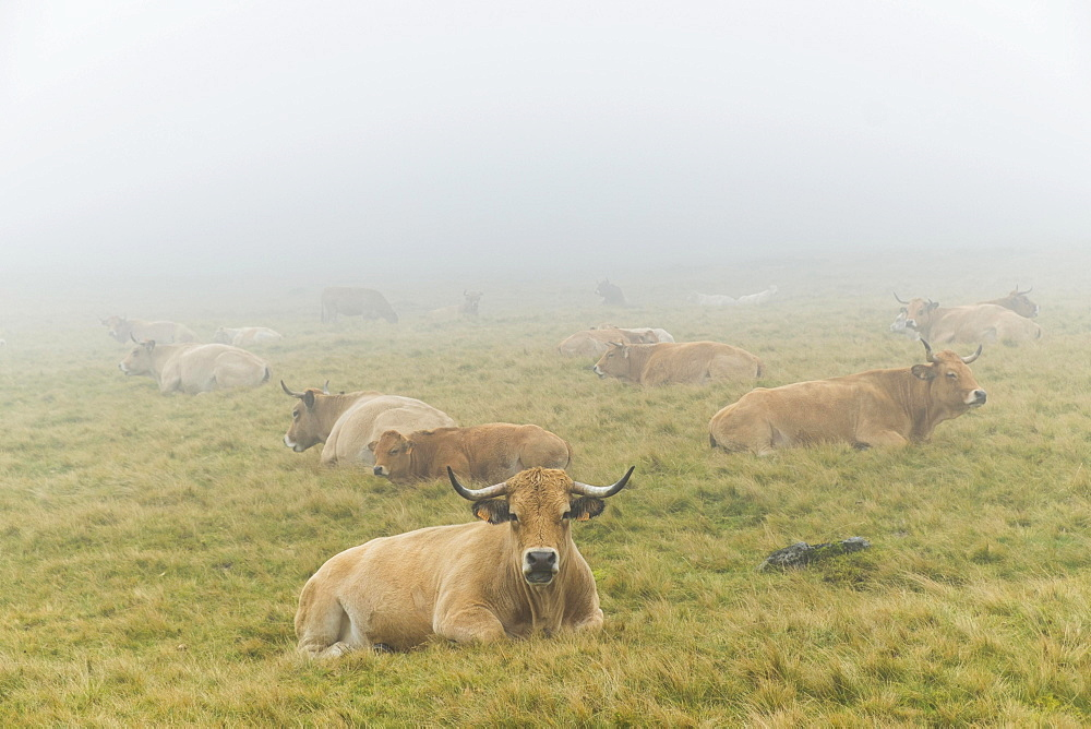 Aubrac cattle herd, Croix-Morand pass, Parc Naturel Regional des Volcans d'Auvergne, Regional Nature Park of the Volcanoes of Auvergne, Puy de Dome, Auvergne, France, Europe