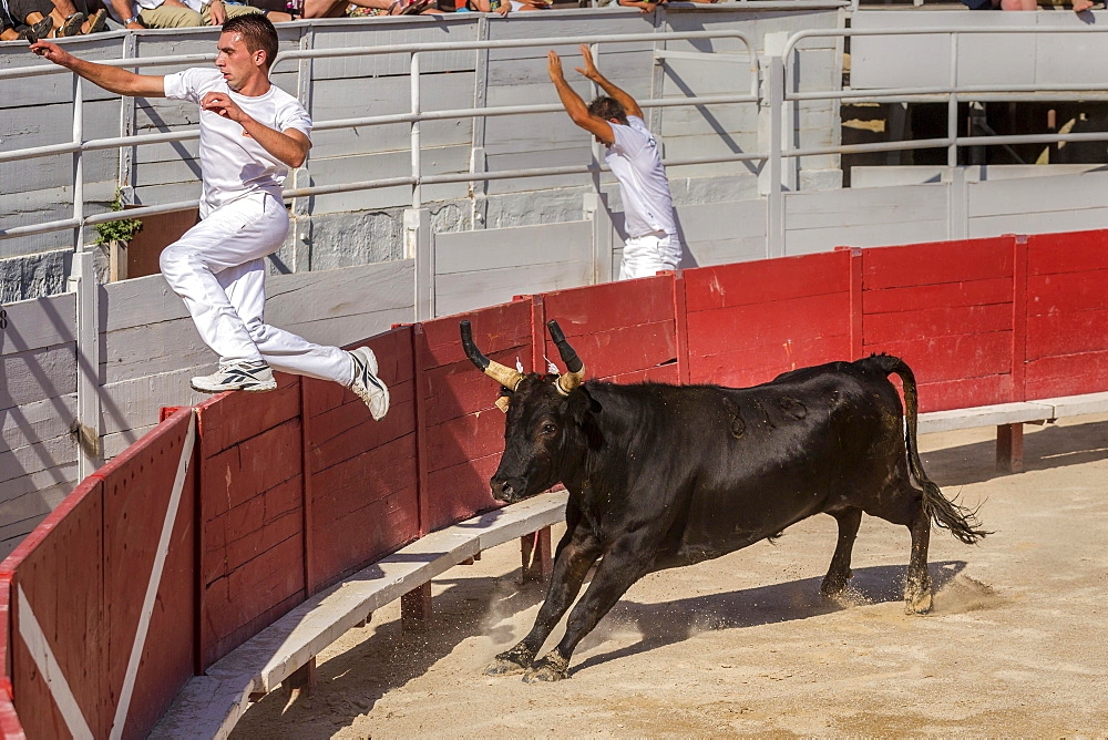 A bullfighter tries to escape a chasing bull, Camargue races, Arles Amphitheatre, Arles, Provence-Alpes-Cote d'Azur, France, Europe