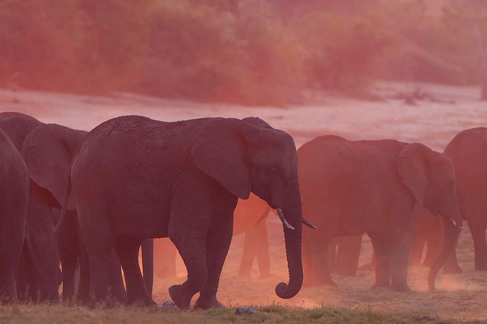 African Bush Elephants (Loxodonta africana), Chobe Waterfront, Chobe National Park, Botswana, Africa