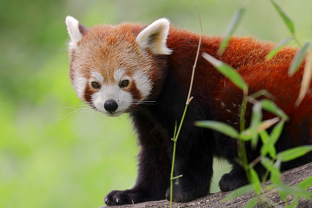 Red Panda (Ailurus fulgens), native to China, captive, Germany, Europe - 832-381598