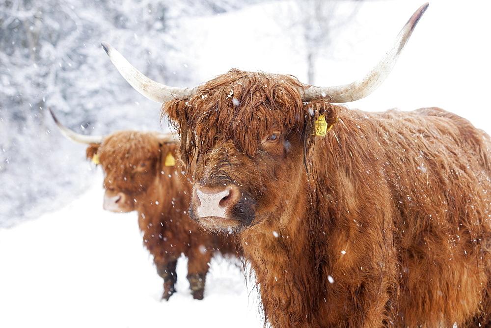 Scottish Highland cattle in snow, Brandenberg, Tyrol, Austria, Europe