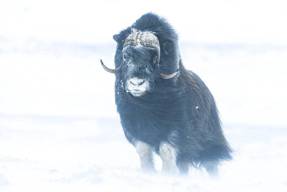 Musk Ox or Muskox (Ovibos moschatus), Dovrefjell?Sunndalsfjella National Park, Norway, Europe