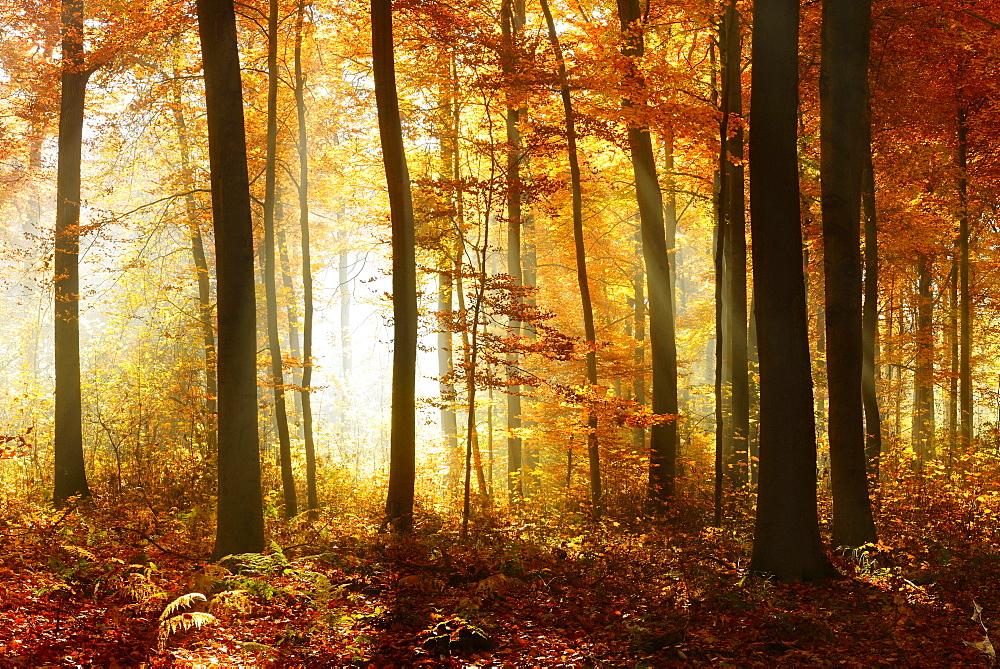 Beech (Fagus sp.) forest in autumn, sun rays shining through trees, Ziegelrodaer Forst, Saxony-Anhalt, Germany, Europe