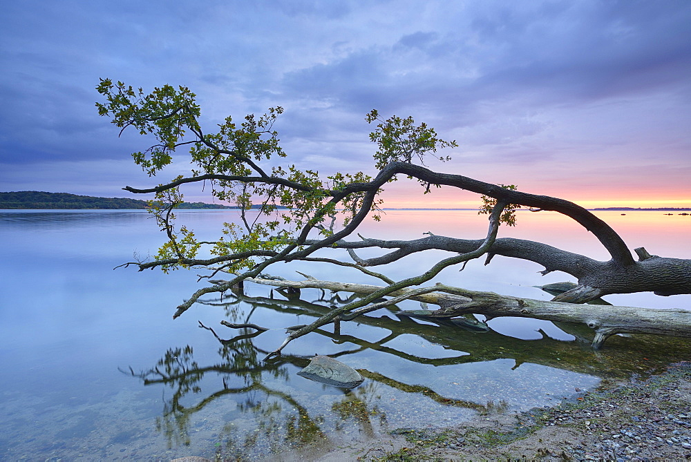 Trunk of an oak tree lying in water, Bay of Greifswald, at back Vilm, sunset, near Putbus, Rugen, Mecklenburg-Western Pomerania, Germany, Europe