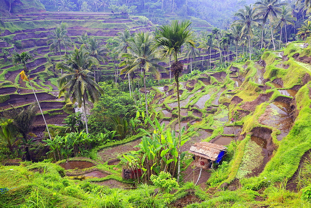 Rice terraces near Tegallalang, Bali, Indonesia, Asia