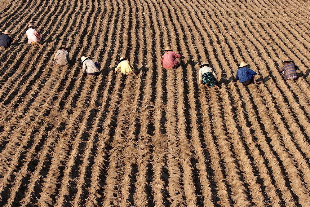 Women working on a field near Mandalay, Myanmar, Asia