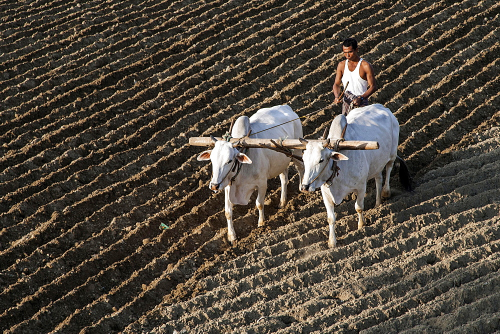 Man ploughing a field with oxen, near Mandalay, Myanmar, Asia