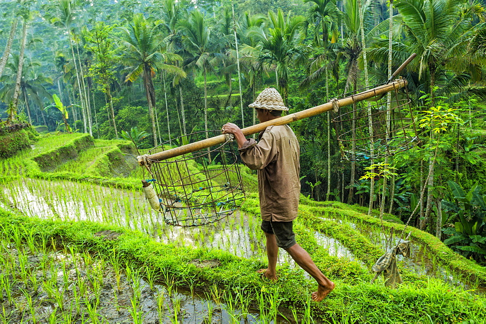 Farmer working in the rice terraces, Ubud, Bali, Indonesia, Asia