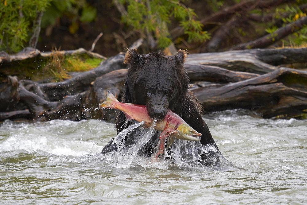 Kamchatka brown bear (Ursus arctos beringianus), with captured Sockeye Salmon (Oncorhynchus nerka) in the mouth, Hakytsin River near Kurilskoye Lake, Kamchatka, Russia, Europe