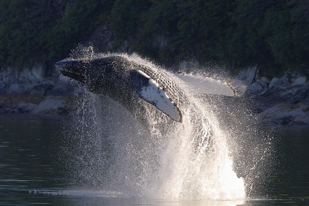 Jumping Humpback whale (Megaptera novaeangliae), Tracy Arm Fjord near Sawyer Glacier, Alaska, USA, North America