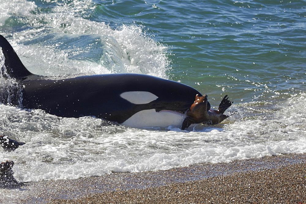Orca (Orcinus orca) attacking sea lion pups (Otaria flavescens) at the beach, Mirador, Punta Norte, Peninsula Valdes, Chubut, Patagonia, Argentina, South America
