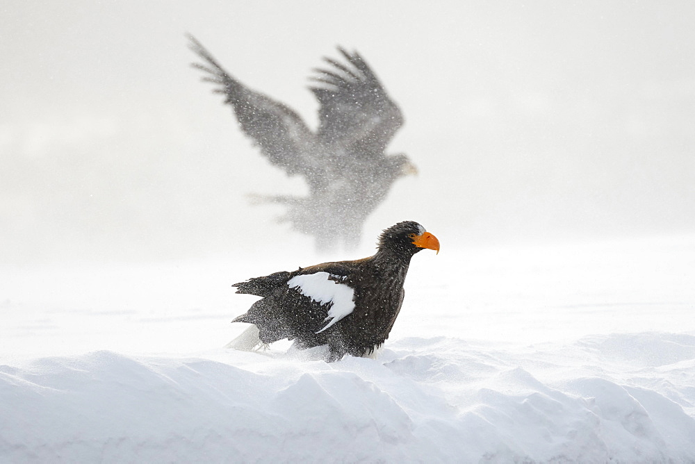 Steller's sea eagle (Haliaeetus pelagicus) in the snow, behind White-tailed eagle (Haliaeetus albicilla) in the snow flurry, Rausu, Hokkaido, Japan, Asia