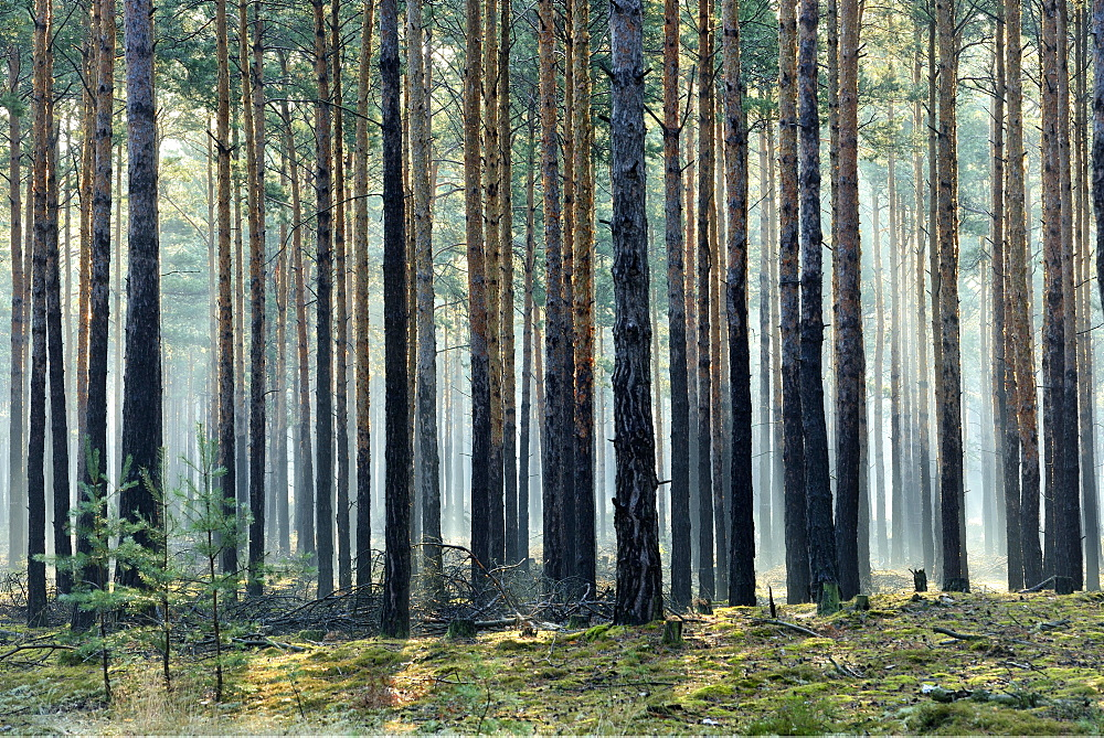 Pine forest (Pinus), monoculture, morning mist, sun beams through tree trunks, Brandenburg, Germany, Europe