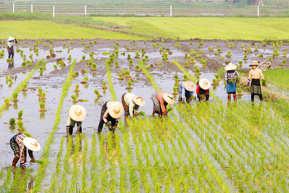 Farmers working in a rice field, Nyaungshwe, Myanmar, Asia