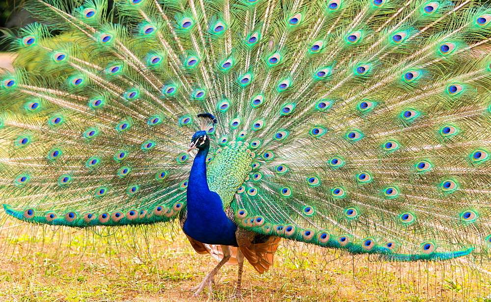 Indian peafowl (Pavo cristatus) beats a wheel, France, Europe