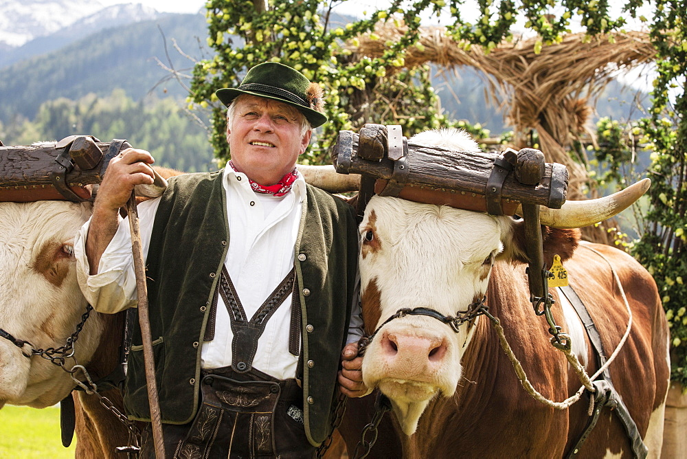 Man wearing traditional dress with two oxen in a yoke, Gauderfest festival, Zell am Ziller, Zillertal, North Tyrol, Austria, Europe