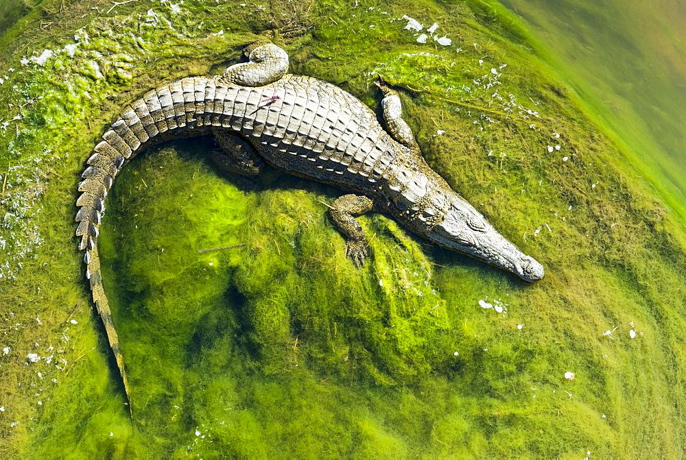 Nile Crocodile (Crocodylus niloticus) lying on green algae, Kruger National Park, South Africa, Africa