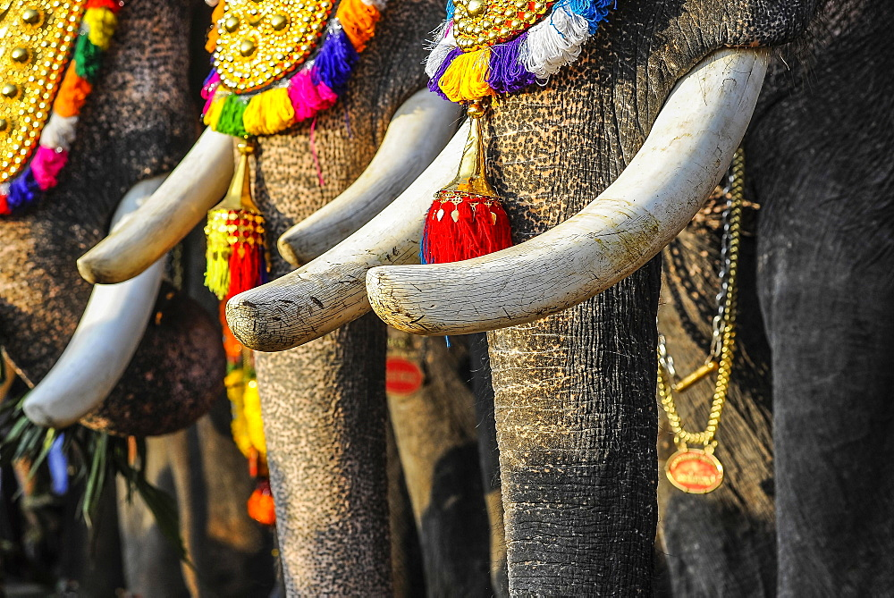 Tusks of decorated elephants at temple festival, Thrissur, Kerala, South India, India, Asia