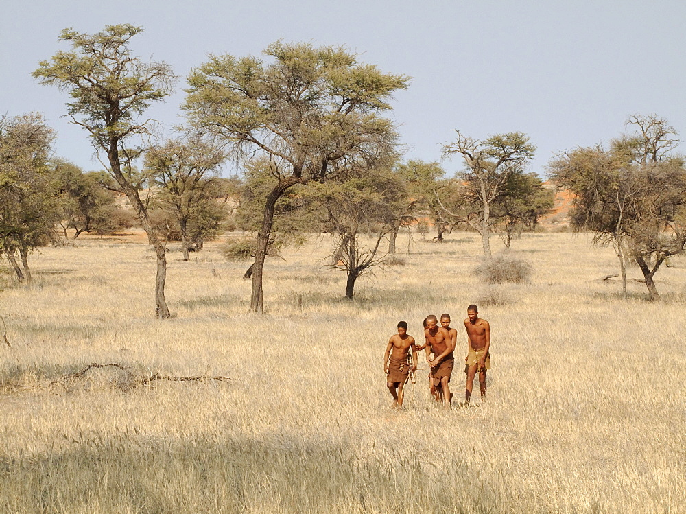 Bushmen in the Kalahari Desert, Camelthorn trees (Acacia erioloba) at the back, Intu Afrika Kalahari Game Reserve, Namibia, Africa