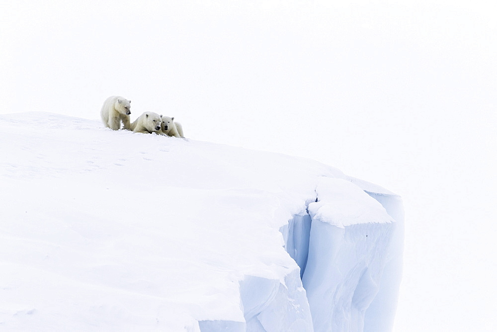 Polar bears (Ursus maritimus), mother animal and two young cubs, three month old, lying on an iceberg, Unorganized Baffin, Baffin Island, Nunavut, Canada, North America