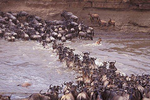 Wildebeest (Connochaetes), Masai Mara Wildlife Reservation, Kenya, Africa - 832-389