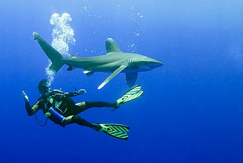 Scuba diver with an Oceanic Whitetip Shark (Carcharhinus longimanus), Red Sea, Egypt, Africa