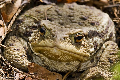 Common Toad (Bufo bufo), Kalkalpen National Park, Upper Austria, Europe