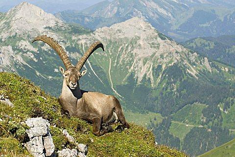 Alpine Ibex (Capra ibex), Eisenerz, Styria, Austria, Europe