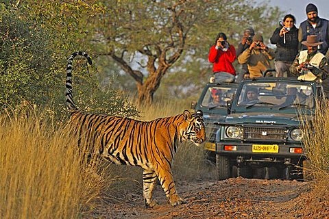 Tourist vehicles following a Tiger (Panthera tigris) on a tiger safari in Ranthambore tiger reserve, Rajasthan, India, Asia - 832-3951