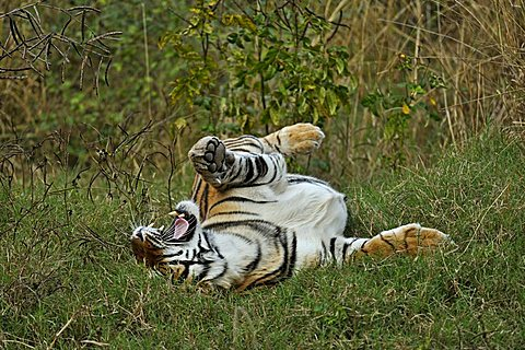 Tiger (Panthera tigris) rolling in grass after the monsoon rains, Ranthambore National Park, Rajasthan, India, Asia