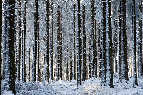 Snow-covered fir plantation on Feldberg Mountain in the Taunus Ranges, Hesse, Germany, Europe
