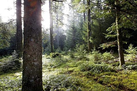 Rays of sunlight, forest of Douglas-firs (Pseudotsuga menziesii), Parc Naturel Regional Livradois Forez, Regional Nature Park of Livradois Forez, Puy de Dome, France, Europe