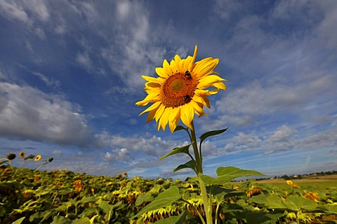 Sunflower, Puy de Dome, France, Europe